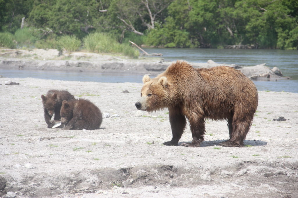 Bear of Kuril lake
